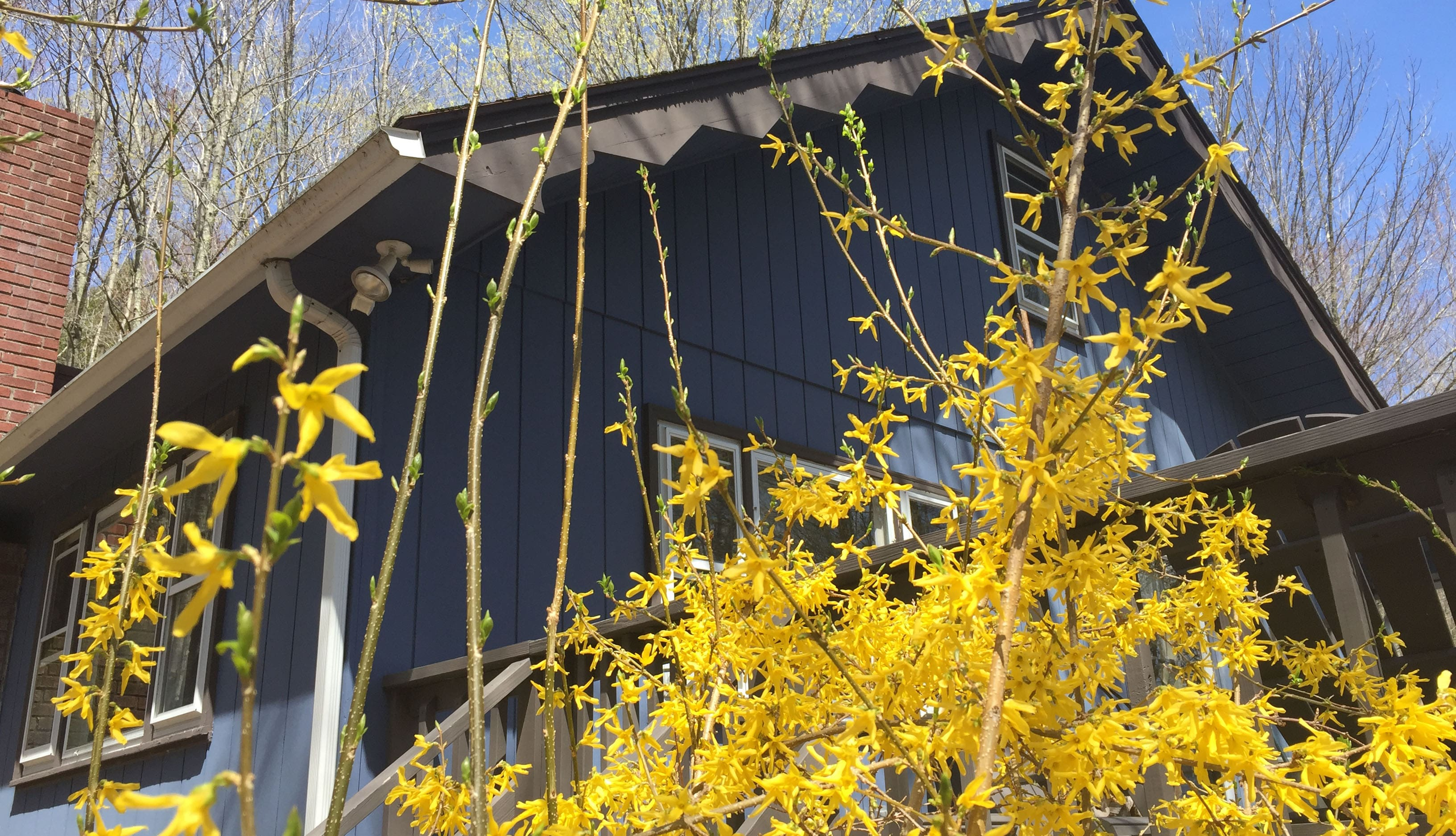 Spring Forsythia in front of the house!